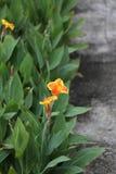 Orange flowers, Ho Chi Minh City, Vietnam Royalty Free Stock Image
