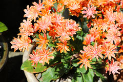 Close up of orange flowers of lewisia in pot. Close up of orange and gold flowers of lewisia in pot royalty free stock photos