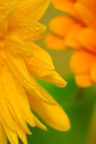 Close up of the orange flowers petals Royalty Free Stock Photos