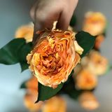 Orange garden rose. Close up of an orange garden rose kept in a hand with a bunch of roses in background Stock Photo