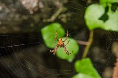 Close up of orange garden spider in its natural habitat. Photo taken in Portugal. Unfocused stones and leaves at the background Royalty Free Stock Photos