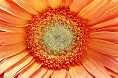 Close up from a orange gerbera flower Stock Photos