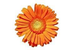 Close up from a orange gerbera flower Stock Photography