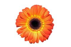 Close up from a orange gerbera flower Stock Image