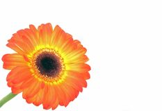 Close up from a orange gerbera flower Stock Photo