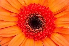 Close up of orange gerbera flower Royalty Free Stock Photography
