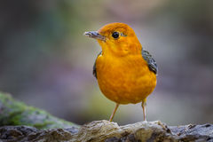 Close up of Orange-headed Thrush Stock Photography