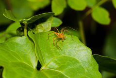Close up orange  jumper spider on the green leaf. Close up of orange  jumper spider on the green leaf Stock Image