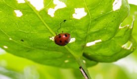 Close up orange ladybug under green leaf. Closeup orange ladybug under green leaf Stock Images