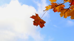 Close up of orange leaves against blue sky stock footage
