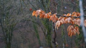 Close-up of orange leaves on the branch in forest into the rain. Stock footage. Autumn landscape stock footage