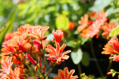 Close up of an orange lewisia. Close up of an lewisia plant with orange flowers royalty free stock photos