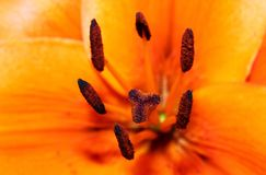 Close-up of  orange lily Stock Images