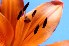 Close-up of  orange lily Stock Image