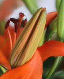 Close up of orange lily bud Stock Image