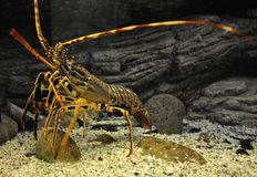 Free Close Up Orange Lobster In The Aquarium Tank From Crete Royalty Free Stock Photography - 129795517