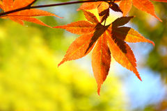 Close up orange maple leaves. Stock Photography