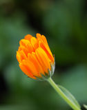 Close up,orange marigold flower in garden. Stock Image
