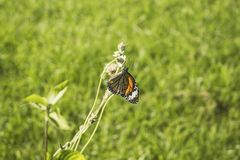 Close up of orange monarch butterfly grabbing a fading flower blossom. Horizontal close up photo of orange monarch butterfly grabbing a fading flower blossom royalty free stock images