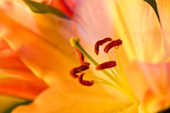 Close up of an orange orchid Royalty Free Stock Photos