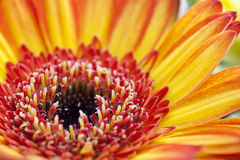 Close up of orange and red daisy. Stock Photos