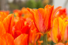 Close Up Orange and Red Tulips Holland Michigan Royalty Free Stock Photos