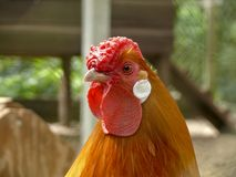Close up of an orange rooster with a wrinkled crumpled red comb and white ear lobe. Close up of an orange rooster with a wrinkled crumpled red comb and bright stock photos