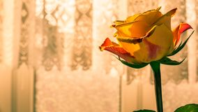 Close up of orange rose. Beautiful orange rose in front of window with lace curtains. Romantic gifts concept royalty free stock photography