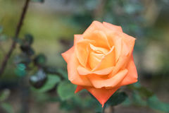 Close up orange rose blooming in garden valentine day. Close up orange rose blooming in garden valentine day stock images