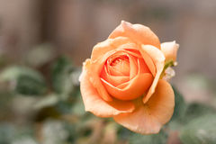 Close up orange rose blooming in garden valentine day. Close up orange rose blooming in garden valentine day royalty free stock photography