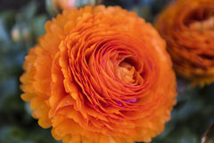 Close-up of orange rose. Blurred background. Close-up and macro photography of an spring orange rose with other flowers in a blurred out background stock photo