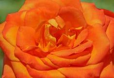 Close up of orange rose. In garden stock image