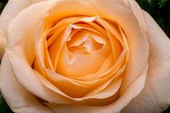 Close up of the orange rose flower. stock image