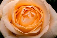 Close up of the orange rose flower. stock photos