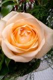 Close up of the orange rose flower. royalty free stock image