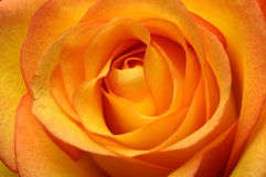Close up of orange rose flower Royalty Free Stock Photo