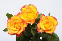 Close up of orange rose flower Royalty Free Stock Images