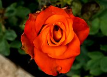 Close up of a Orange Rose Flower - India. Close up shot of a Orange Rose Flower in India stock image