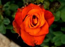 Close up of a Orange Rose Flower - India stock image