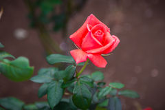 Close-up of orange rose. In a garden stock images