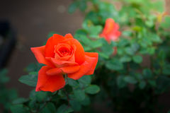 Close-up of orange rose. In a garden royalty free stock photo
