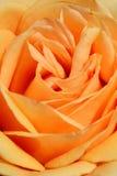 Close up of orange rose petals. Stock Photo
