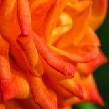 Close up of orange rose Stock Photography
