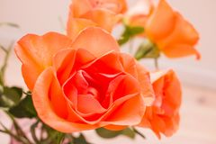 Close up orange roses Royalty Free Stock Image