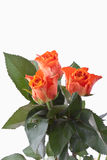 Close up of orange roses with leaf on white background Royalty Free Stock Photography