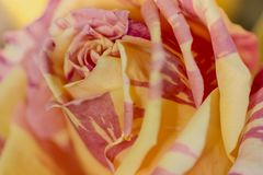 Close up of orange roses soft style with dewdrops use for the soft background, valentine`s or wedding card stock photos