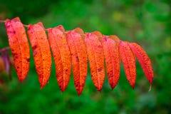 Close Up of Orange Sumac Leaves Royalty Free Stock Image