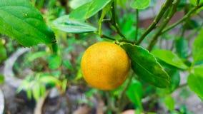 Close-up orange tree. This is close-up orange tree Royalty Free Stock Photo