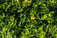 Close up orange tree with fruits Stock Images