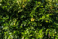 Close up orange tree with fruits. Tree fruit, delicious and healthy oranges Stock Photos